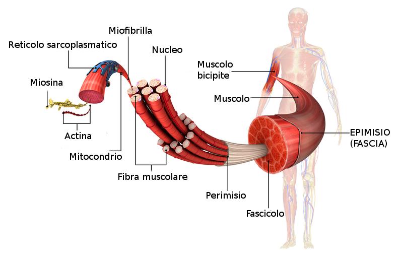 Nell'immagine sono evidenziate tutte le strutture che compongono il muscolo scheletrico. Si può osservare la funzione avvolgente della fascia muscolare